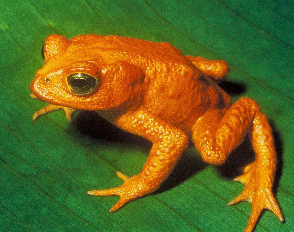 Golden Toad